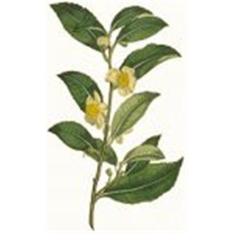 Tè Nero Darjeeling
