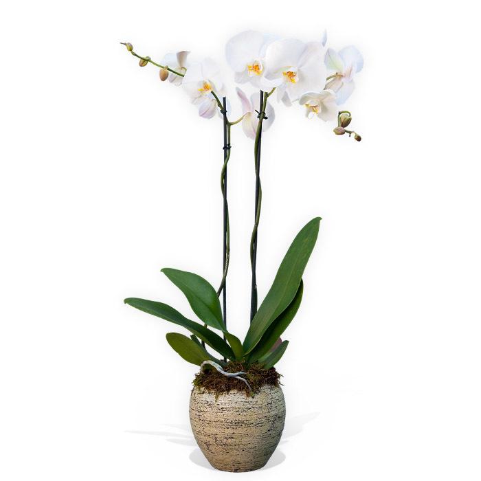 Vaso con pianta di Phalenopsis