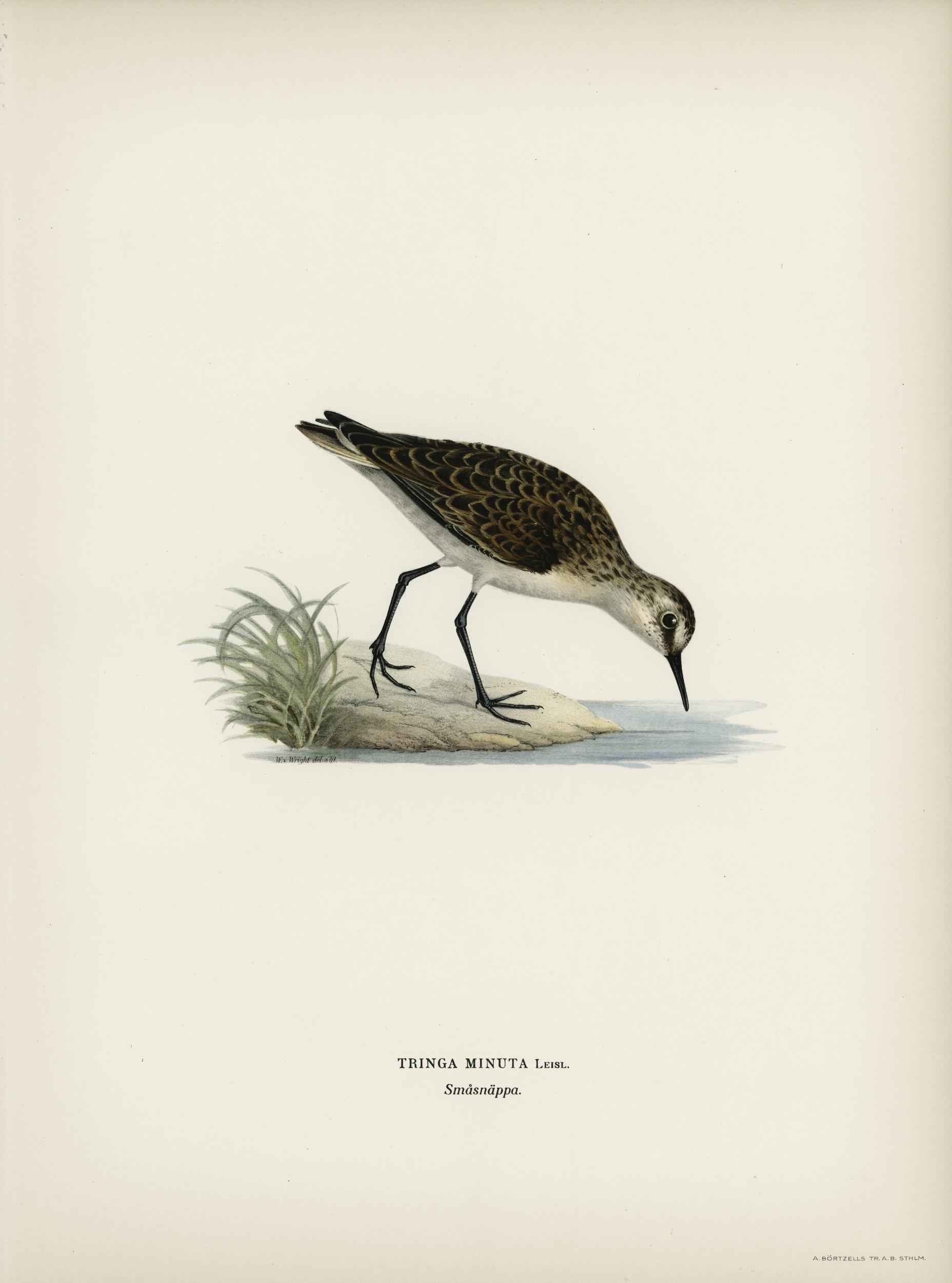 Stampa antica ornitologica 10
