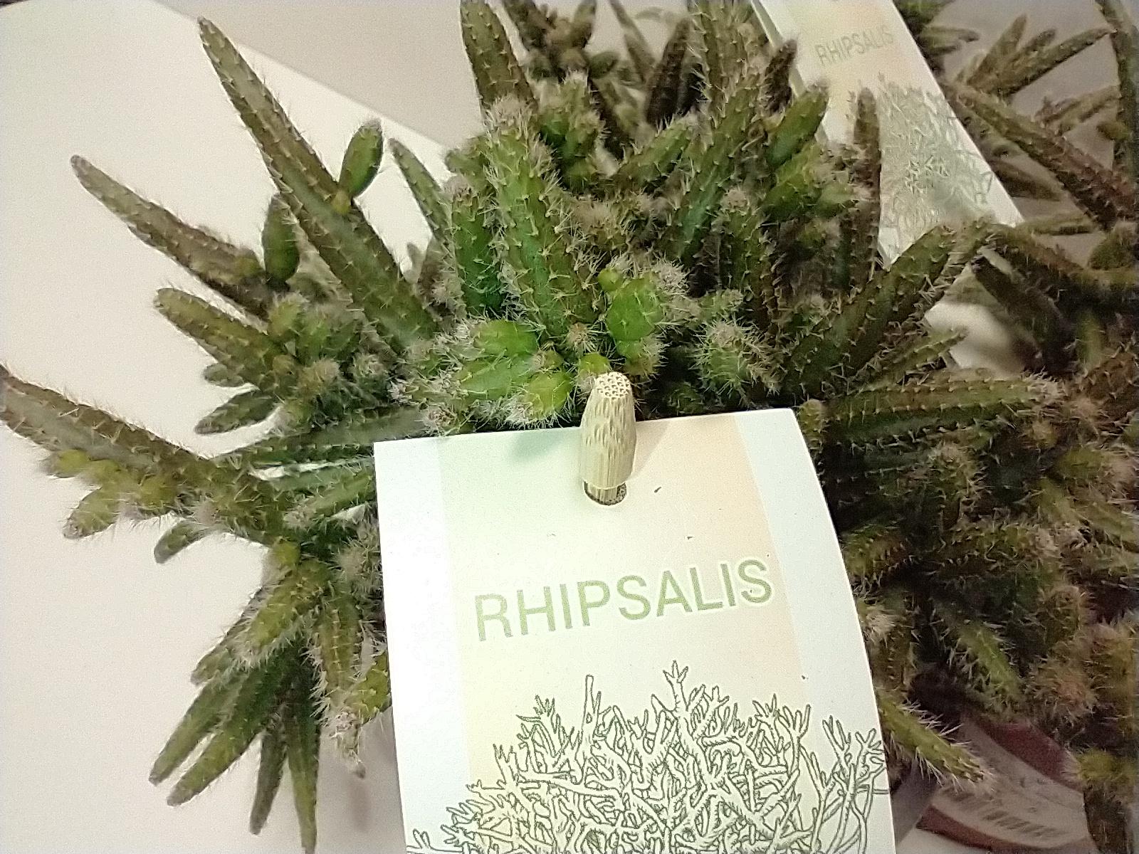 RHIPSALIS HORRIDA V.12