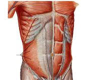 muscoli corsetto addominale