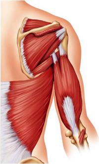 muscoli spalle