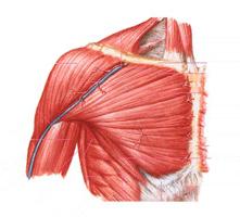muscoli torace