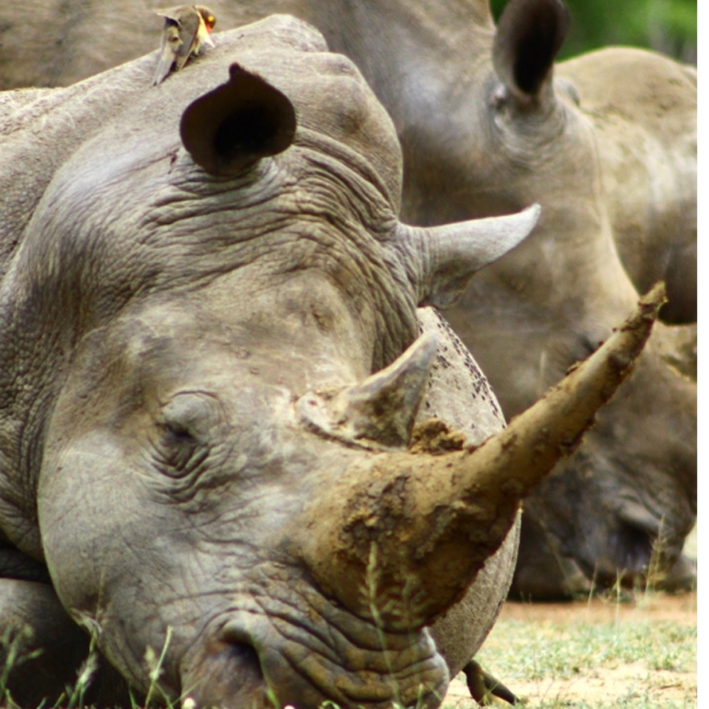 A Roma tornano i rinoceronti